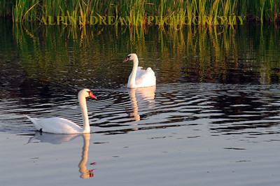 SWANS AT DAWN  (check out those reflections in still waters)