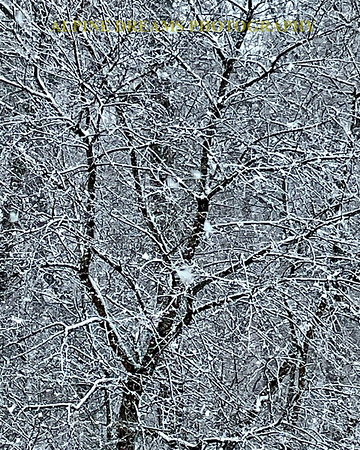 WET SNOW ON BRANCHES