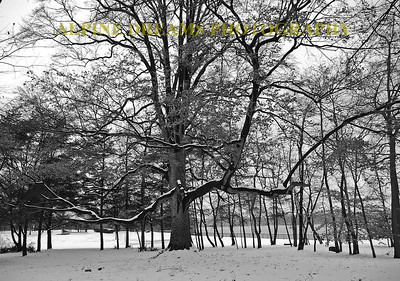 This huge outsweeping tree is down by the river in Florence NJ.  Early season snow gave me the Black and White contrast that I was looking for.