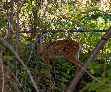FAWN-under-COVER