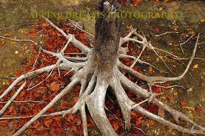 WEATHERED ROOTS IN FALL