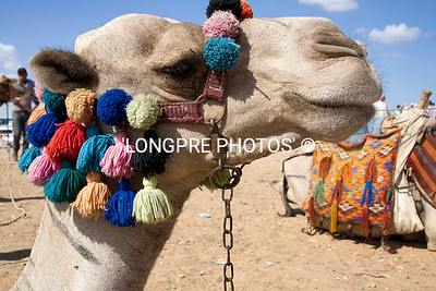Camel in FULL DRESS