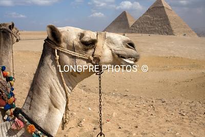 CAMELS at GIZA pyramids.
