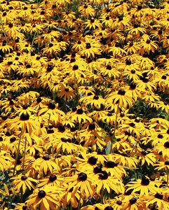 Black-eyed susans at entrance to Snowshoe Resort, Snowshoe, WV
