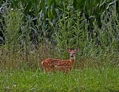 Deer by corn field near Seneca Rocks, WV