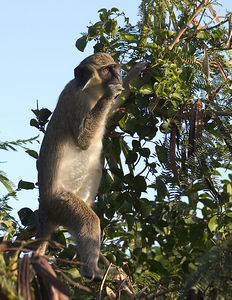 Vervet green monkeys, Nevis