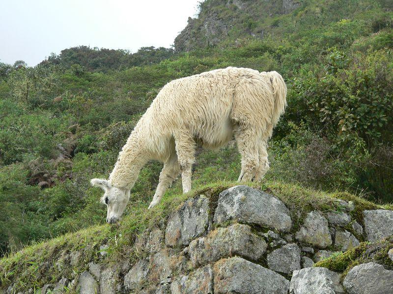 222 Llamas - only residents of Machu Picchu