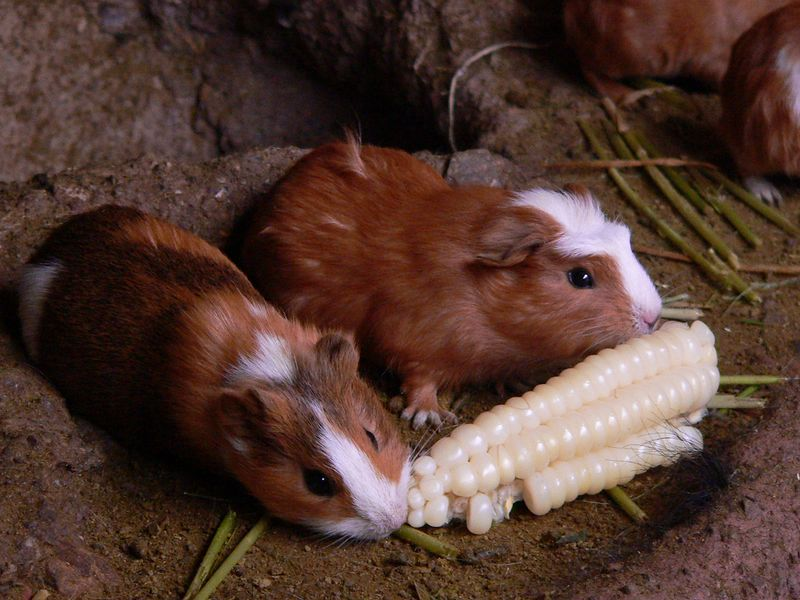 Guinea pigs. In the Andes mountains they are called Cuy, and are a traditional meal. Note the corn they are eating. The corn in Peru had huge kernels.