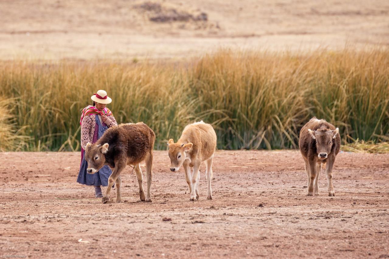 Herding Livestock Near our Picnic