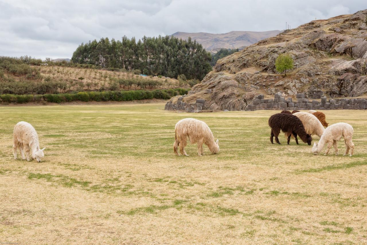 Grazing in a Meadow - Saqsaywaman Ruins