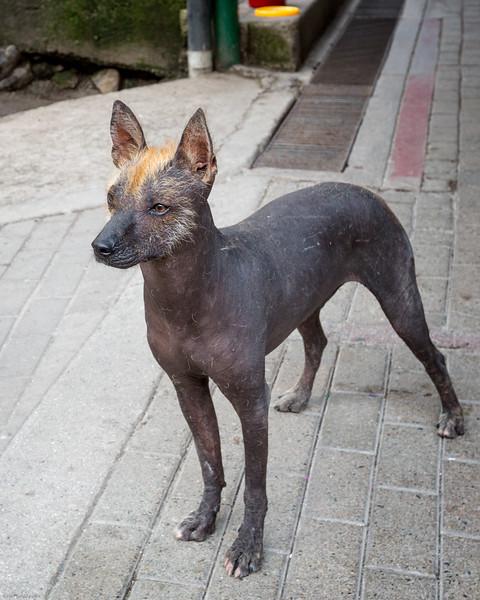 Typical Peruvian Hairless Dog
