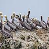 Pelicans Atop Their Rock