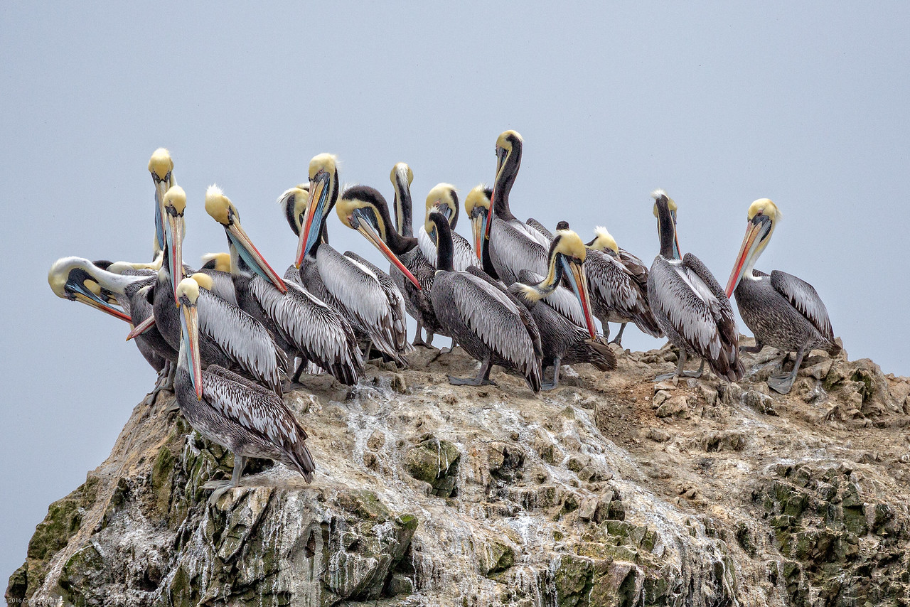 Pelicans Atop Their Rock