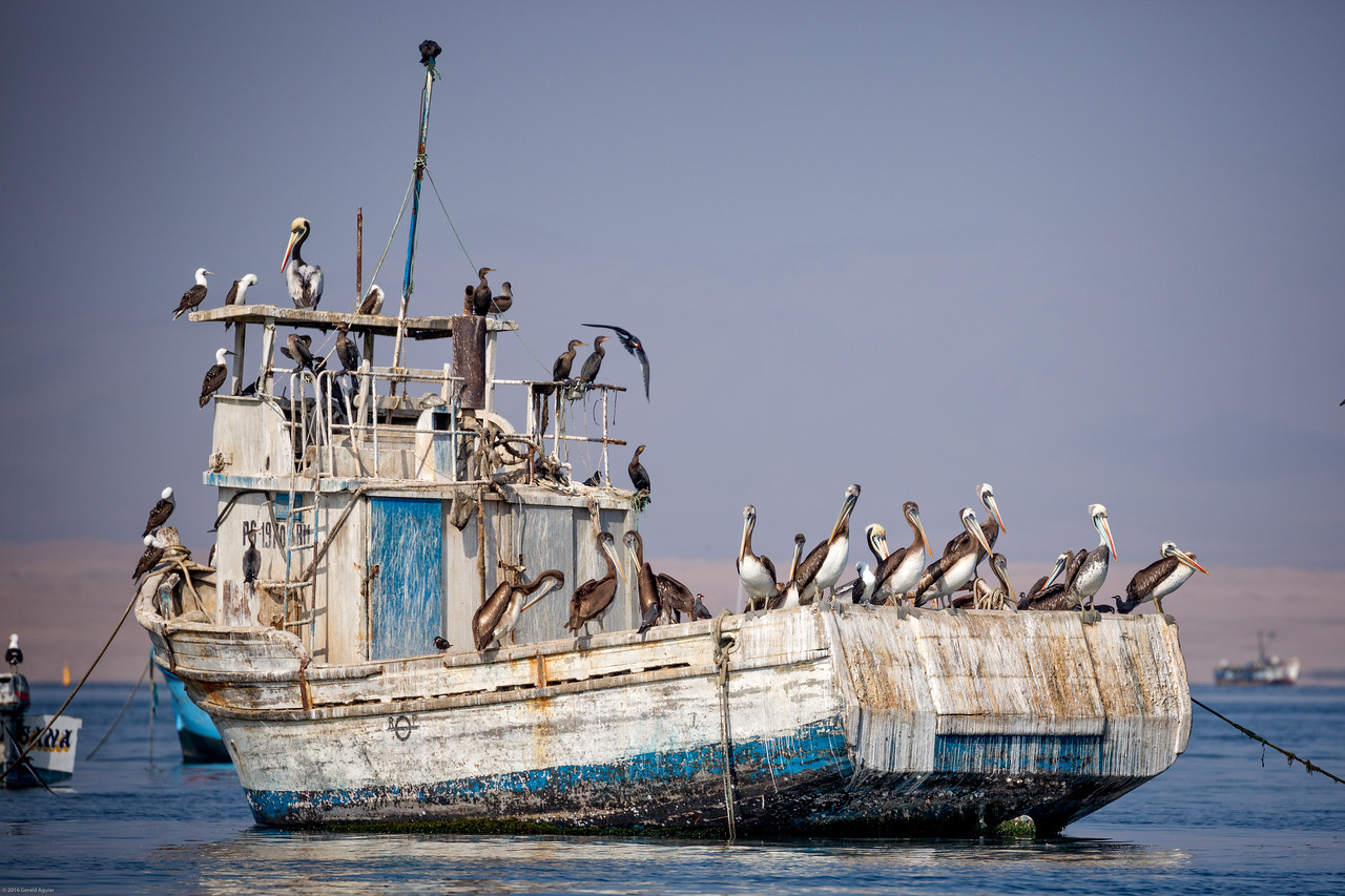 Pelicans Aboard Abandoned Ship