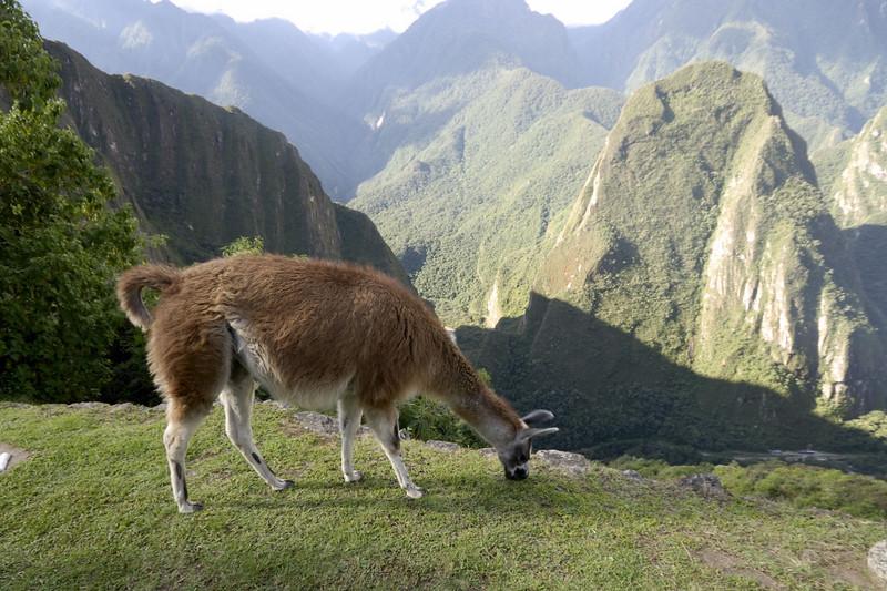 Machu Picchu, adult llama very close to the edge! Rio Urubamba far below.