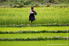 Village Woman in Rice Paddy