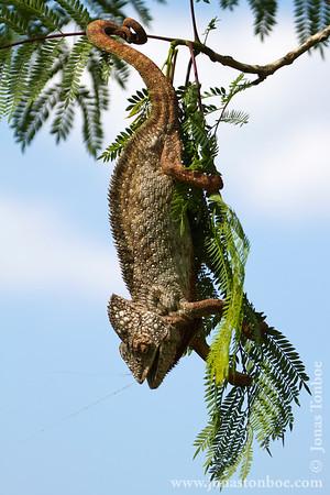 Madagascar Exotic (reptile farm): Chameleon