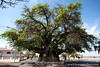 Old Baobab (approximately 3800 years old)