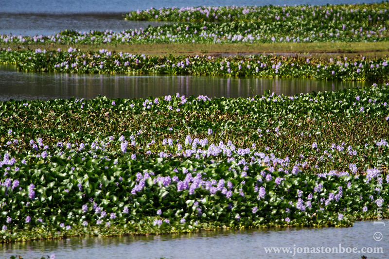 Water Hyacinth on Lake Ravelobe