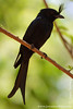 Crested Drongo