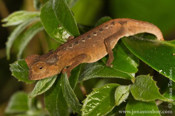 Montagne d'Ambre National Park: Chameleon