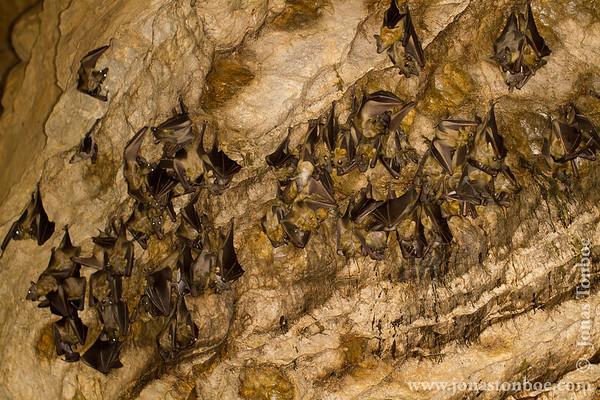 Ankarana National Park: Bat cave - Madagascar Straw-colored Fruit Bat (Eidolon dupreanum)