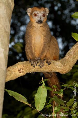 Ankarana National Park: Crowned Lemur (Eulemur coronatus)