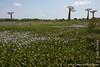 Baobab Tree and Water Hyacinths