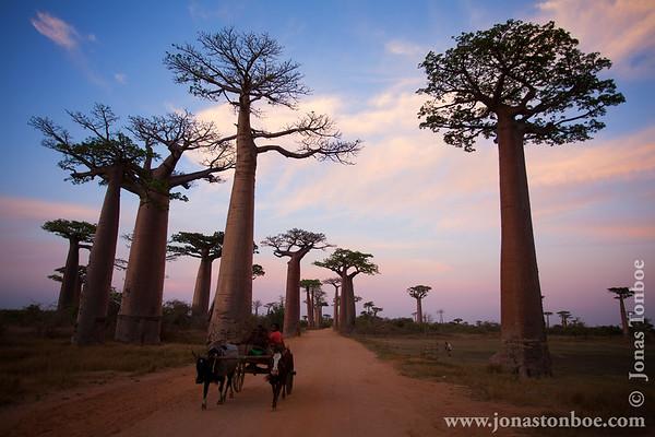 Route Nationale 8 between Tsiribihina River and Morondava: Avenue of the Baobabs at sunset - zebu cart