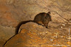 Western Red Forest Rat Inside Cave
