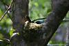Helmet Vanga in its Nest