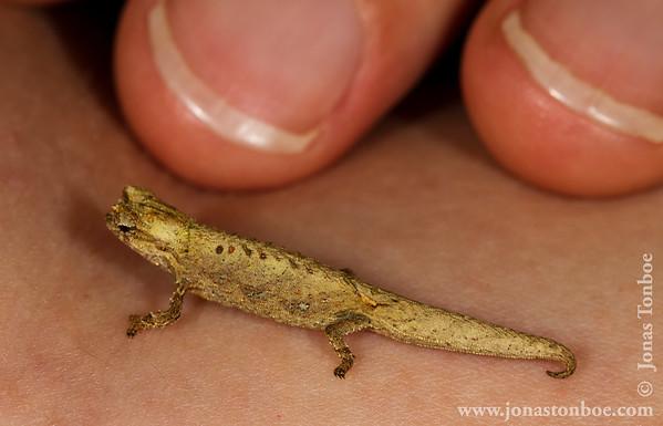 Montagne d'Ambre National Park: Chameleon (Brokesia sp.)