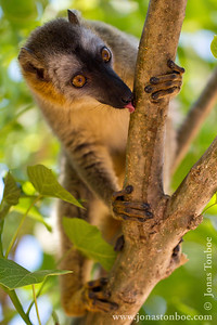 Kirindy Reserve: Red-fronted Brown Lemur (Eulemur rufifrons)