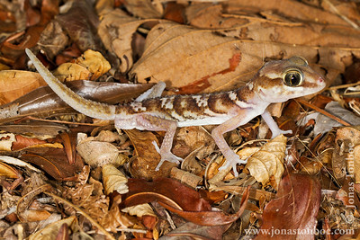 Kirindy Reserve: Big-headed Gecko (Paroedura pictu)