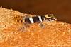 Olympe de Bemaraha: Gecko