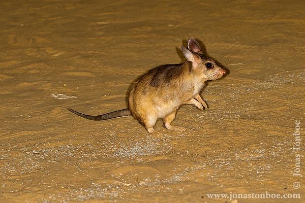Kirindy Reserve: Giant Jumping Rat (Hypogeomys antimena)