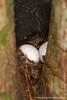 Gecko Eggs Inside Hollow Tree