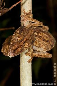 Ankarana National Park: Henkel's Leaf Tailed Gecko (Uroplatus henkeli)
