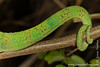 Panther Chameleon Tail