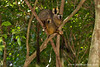 Tsingy de Bemaraha National Park: Red-fronted Brown Lemur (Eulemur rufifrons)