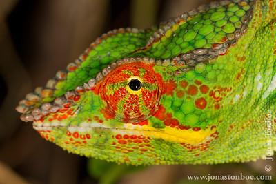 Nosy Be: Panther Chameleon (Furcifer pardalis)