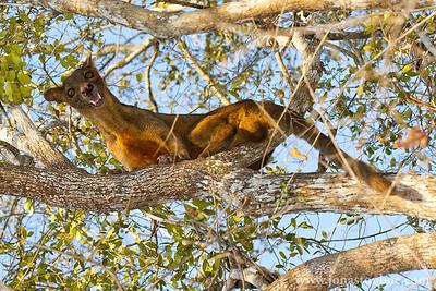 Kirindy Reserve: Fossa (Cryptoprocta ferox). Winner 2012 Naturetrek Photography Competition: Best photo