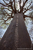Ancient Baobab Tree