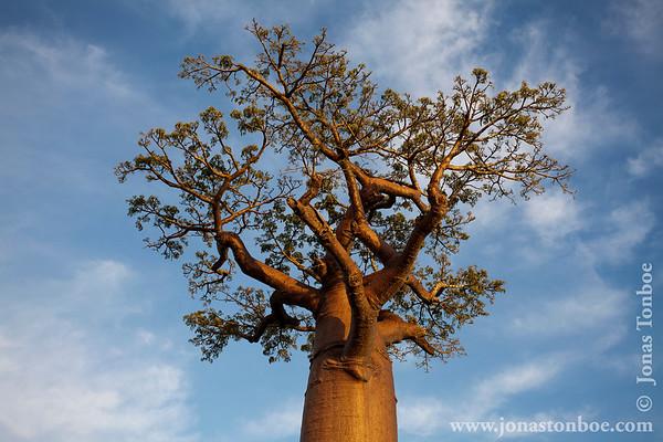 Route Nationale 8 between Tsiribihina River and Morondava: Avenue of the Baobabs at sunset - baobab tree