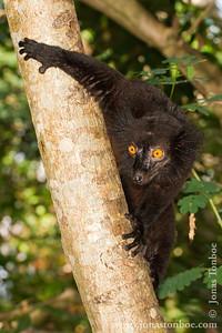Nosy Komba: Male Black Lemur (Eulemur macaco)
