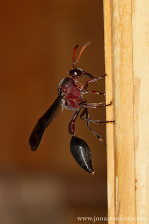 Olympe de Bemaraha: Wasp