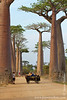 Avenue of the Baobabs and Zebu Cart at Sunset