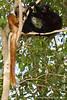 Female and Male Black Lemur