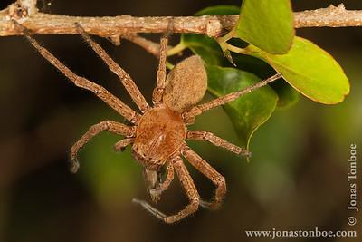 Olympe de Bemaraha: Spider