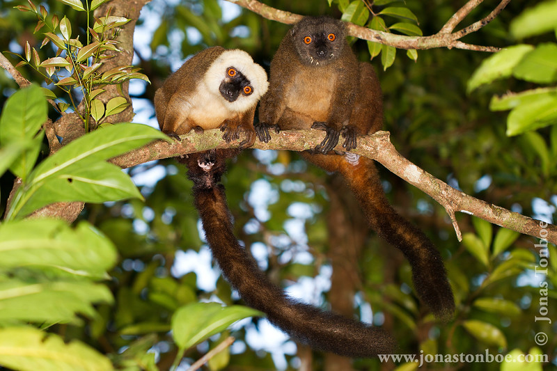 Male and Female White-fronted Brown Lemur